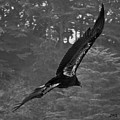 California Condor In Flight II Bw by David Gordon