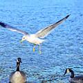 California Gull - Canada Geese by Alan C Wade
