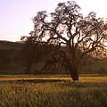 California Hwy 25 Oak by Kathy Yates