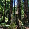 California - Muir Woods 006 by Lance Vaughn