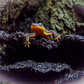 California Newt 2 by Reed Tim