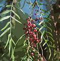 California Pepper Tree Leaves Berries Abstract by Linda Brody