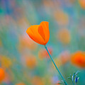 California Poppies 1 by Anthony Bonafede