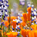 California Poppies And Lupine by Kyle Hanson