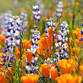 California Poppies And Lupine Wildflowers by Kyle Hanson