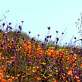 California Poppies And Wildflowers by Janice Sobien
