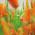 California Poppies by Aubri Johneen