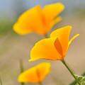 California Poppies by Lara Ellis
