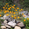 California Poppies Photograph by Kristen Fox