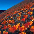 California Poppies Quartz Hill by Brian Lockett