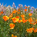 California Poppies, White Grasses And Blue Sky In Windy Antelope Valley Ca Poppy Reserve by Ruth Hager
