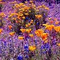 California Poppy And Lupin by Gail Salitui