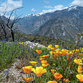 California Poppy And Mountain Panorama by Cascade Colors