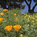 California Poppy Eschscholtzia by Rich Reid