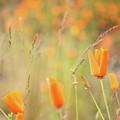 California Poppy Field 4 by Jill Greenaway