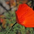 California Poppy by Jean Booth
