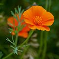 California Poppy by K D Graves
