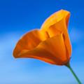 California Poppy by Ralph Vazquez
