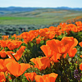 California Poppy Reserve by Kyle Hanson