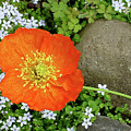 California Poppy Rock Garden by Shirley Heyn