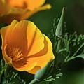 California Poppy Sunny by Robert Potts