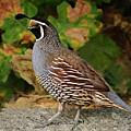 California Quail Rooster by Brian Tada