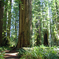 California Redwood Forest Trees Art Prints by Baslee Troutman