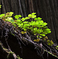 California Redwoods 4 by Bob Christopher