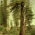 California Redwoods by Albert Bierstadt