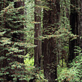 California Redwoods by Greg Vaughn - Printscapes