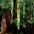 California Redwoods by Sonja Anderson