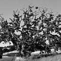 California Roadside Tree - Black And White by Matt Harang