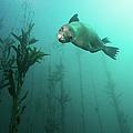 California Sea Lion In Kelp by Steven Trainoff Ph.D.