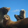 California Sea Lions Resting by Andrea Freeman