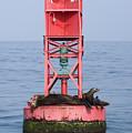 California Sea Lions Zalophus by Rich Reid