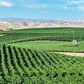 California Vineyards 1 by David A Litman