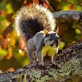 California Western Gray Squirrel by Brian Tada