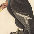Californian Vulture by John James Audubon
