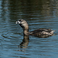 Call Of The Grebe by Robert Potts
