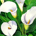 Calla Lilies by Catherine G McElroy