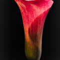 Calla Lily 2 by William Atkins