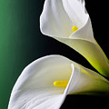 Calla Lily Green Black by Garry Gay