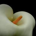 Calla Love by Donna Blackhall
