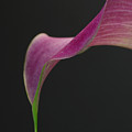 Calla Petal by Juergen Roth