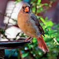 Cam, A Female Cardinal by Patricia Youngquist