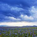 Camas Glory At Camas Prairie In Idaho by Vishwanath Bhat