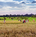 Cambodia Field Workers Harvesting Rice by Art Phaneuf