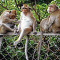 Cambodia Monkeys 7 by Ron Kandt