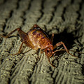Camel Cricket by Reed Tim