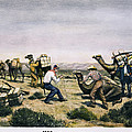 Camel Express, 1857 by Granger